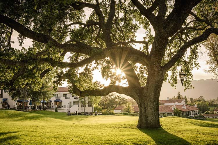 Ojai Resort Oak Tree