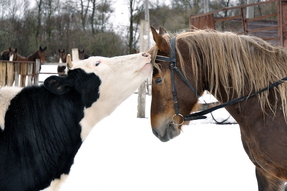 Cow kissing horse