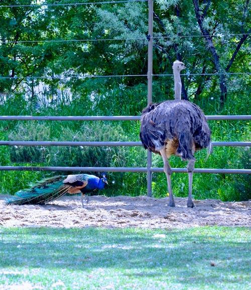 peacock & ostrich